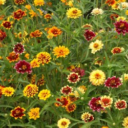 ZINNIA MEXIQUE