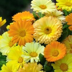 CALENDULA (Fleur de Souci) FIESTA GITANA