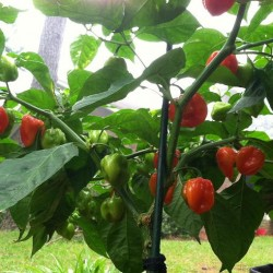 PIMENT HABANERO RED CARRIBEAN