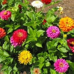 ZINNIA CALIFORNIE
