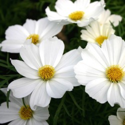 COSMOS SENSATION BLANC PURITY