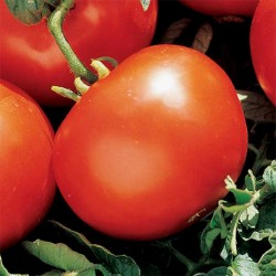 TOMATE NOIRE RUSSIE