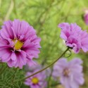 COSMOS FIZZY PINK