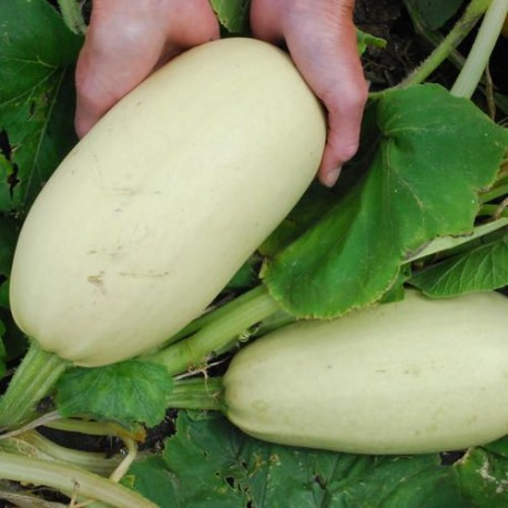 COURGETTE WHITE BUSH