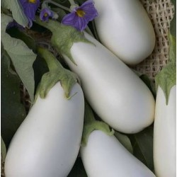 AUBERGINE WHITE EGG