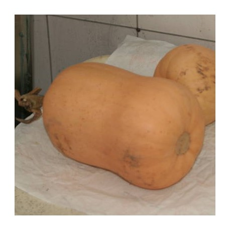 COURGE WALTHAM BUTTERNUT