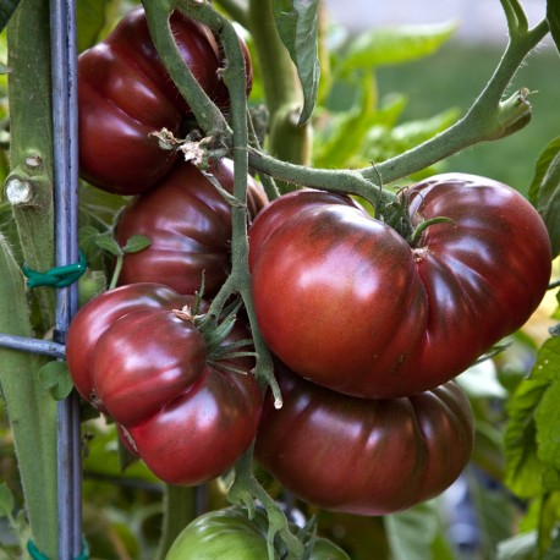 tomate noire de crimee les jardins du vallurot. Black Bedroom Furniture Sets. Home Design Ideas