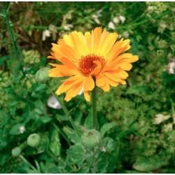 SOUCI DOUBLE DES JARDINS (CALENDULA) jaune orange