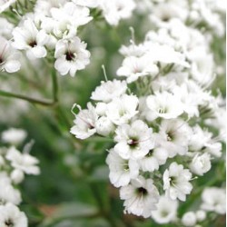 GYPSOPHILE PANICULE SIMPLE