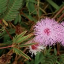 MIMOSA PUDICA ou SENSITIVE